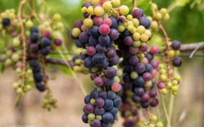 Aleatico Grapes, Artisan Wines…