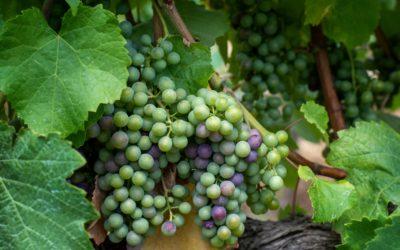 Madrevite – Grape Expectations